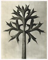 Original Vintage Botanical Karl Blossfeldt Photo Art Print 84