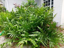 12 Live Rare Wort Fern Plants Roots rhizomes Tuber Florida Houseplant