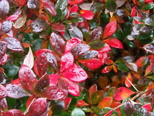 C2   BERBERITZE BERBERIS RED JEWEL 30-40 CM
