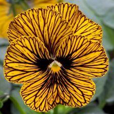 Viola - Tiger Eye Yellow - Perennial Flower - 20 Seeds