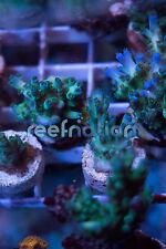ORA Borealis-Coral Frag SPS Monti LPS ReefNation Zo