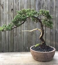 "Juniper Procumbens Bonsai tree Jin and Shari in a Handmade Concrete 6 1/2"" pot"