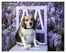 BEAGLE DOG  sitting on lavendar CHAIR n front of WISTERIA VINES pet photograph