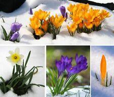 großes Set Winterblumen blühen mitten im Winter jetzt pflanzen ! Blumenzwiebeln