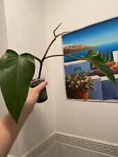 philodendron mandaianum RARE ( no monstera) plant rooted