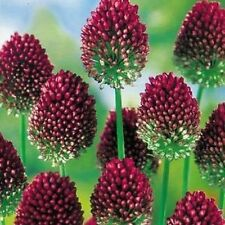 50 x Allium Sphaerocephalon  DRUMSTICKS  Perennial Garden Plant BULBS