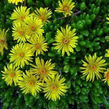 50+ DOROTHEANTHUS BELLIDIFORMIS YELLOW ICE PLANT FLOWER SEEDS /PERENNIAL