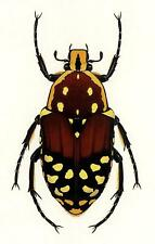 Durin Print ROSE SCARAB BEETLE/Beetles INSECTS/Bugs