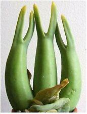 Mitrophyllum Mitratum * Stunning Caudiciform * Snail Succulent * Rare * 10 Seeds