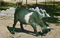 Rockville~Parke County Indiana~Gobblers Knob Zoo Farm~Pygmy Goat~1960s Postcard
