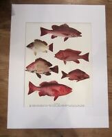 "Antique Vintage Red Fish Colored Print Matted Plate 37 Fish 11"" x 14"""