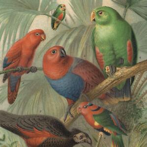 1897 Lithographie Psittaciformes Perroquets Oiseaux tropicaux Ornithologie