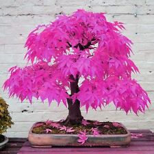 Japanese Maple Bonsai Tree Seeds Garden Plants For Home Pink Maple Bonsai Seeds