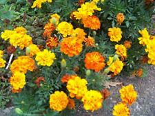 Marigold- French Sparky Mix-100 Seeds