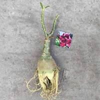 Adenium Obesum Desert Rose Plant Bonsai Flower #27 Haang Pla Rare