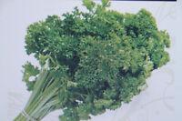 Kiepenkerl Kresse 347 glatte großblättrig Hoher Vitamin Gehalt