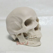 Arts Human Skull Replica Resin Model Medical Realistic Drawing Anatomy NEW 1:2