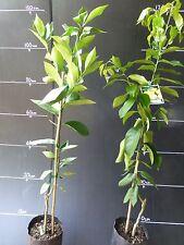 Citrus Trees Meyer/Eureka  Lemon Pots and  5 litre bags approx 1m hgt  $29.50 EA