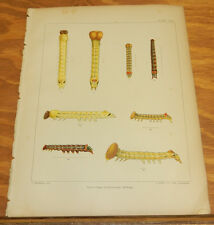 1895 COLOR Print/LARVAL STAGES, WHITE-HEADED PROMINENT MOTH/SYMMERISTA ALBIFRONS