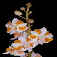 DW417 Doritis pulcherrima var. champorensis (white) 3 1/4'' Pot T137