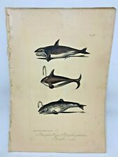Original Antique Lacepede 1832 Hand Colored Plate 18 Orca Killer Whale