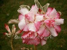 """Variegated Rosy Adenium Obesum (Desert Rose) """"Best in Siam"""" grafted plant"""