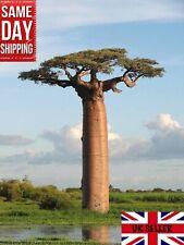 African Baobab Tree Adansonia Digitata  15 fresh seeds Bonsai Same day Dispatch