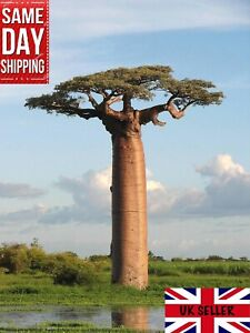 African Baobab Tree Adansonia Digitata  20 fresh seeds Bonsai Same day Dispatch