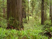 10 Semillas  SEQUOIA SEMPERVIRENS  Secuoya roja o Secuoya de California - árbol