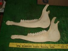 Pair elk jaw bones / arts crafts / taxidermy / other