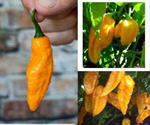 Devil's Tongue Chili Hot Pepper Seeds Rare GIFT OPTION