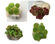 Floating Plant Combo! (Frogbit, Red Root Floater, Water Lettuce, Water Spangles)