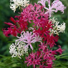 Nerine bowdenii MIXED VARIETIES   x 5 bulbs - Autumn flowering bulb