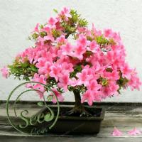 Seeds Japanese Sakura Dwarf Tree Pot  Cherry Blossoms Flower Home Garden 10 Pcs