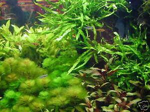 1 super lot de 30 brins de plante pour aquarium made in alsace +
