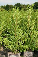 Forsythie Forsythia 'Minigold'  40 - 60 cm im 5 Liter Container