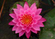 Live Bernice Ikins Cold Hardy Water Lily Rhizome