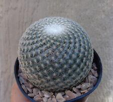 New listing Mammillaria Elegans