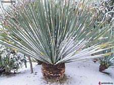 Dasylirion wheeleri - 10 fresh seeds -Desert Spoon, Blue Sotol - Hardy Tropical
