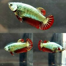 Live Betta Fish Female Steel Blue Red Dragon Copper Halfmoon Plakat