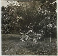 Pianta Congo Africa Foto NE15 Placca Da Lente Stereo Vintage Ca 1910