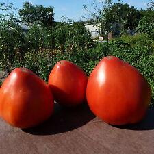 Bulgarisches Ochsenherz Tomate,Tomaten Saatgut, 10+Samen aus Eigenanbau