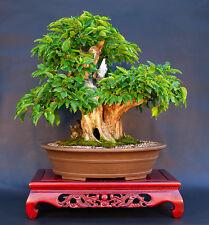 CORNELIAN CHERRY DOGWOOD - Cornus mas - 65 seeds - BONSAI - TREE