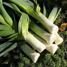 Seeds Leek Autumn Giant Onion Vegetable Organic Heirloom Russian Ukraine