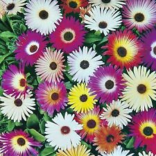 LIVINGSTONE DAISY SEEDS MESEMBRYANTHEMUM ICE PLANT PIGFACE COLOUR MIX SUCCULENT