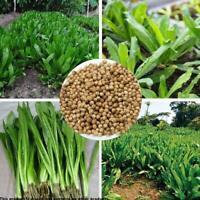 3000 Stück Vietnamesischer Koriander Samen Gemüse Samen B H6T4 Dekor Garten T4N0