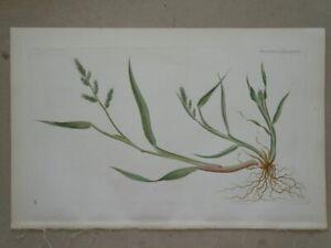 Echinochloa Crus - Flora danica Lange - coloured engraving plant botany - 1883