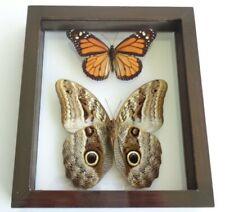 REAL BUTTERFLY FRAME **OWL EYE CALIGO SP & DANAUS PLEXIPPUS MONARCH DOUBLE GLASS