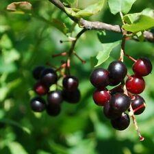 Prunus serotina 100 Graines de Cerisier tardif Black cherry tree seeds