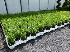 100 Premium Buchsbaum Buxus Sempervirens 20 - 25 cm Bux Buchs Heckenpflanzen